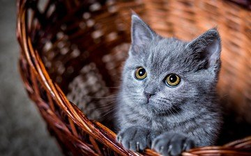 глаза, усы, кошка, взгляд, котенок, серый, корзинка, к