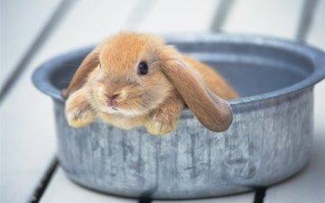 ушки, кролик, животное, милый, миска, тазик