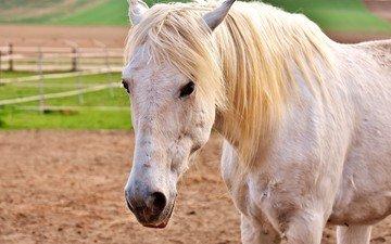 глаза, морда, лошадь, взгляд, конь, грива, белая