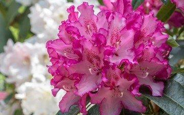 цветы, макро, азалия, рододендрон
