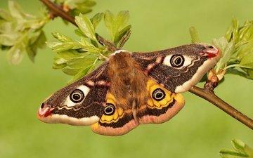 ветка, листья, макро, насекомое, бабочка, крылья, моль, павлиноглазка малая