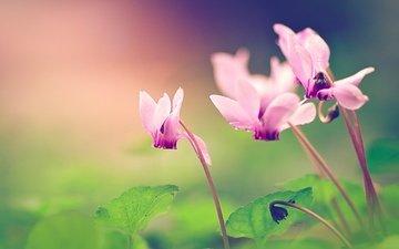 макро, цветок, лепестки, цикламены