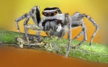 природа, макро, фон, паук
