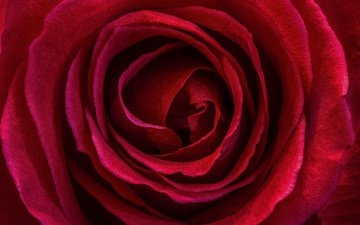 macro, flower, rose, petals, red rose