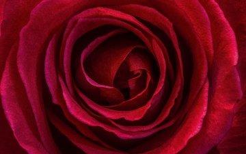 macro, flower, rose, petals, red rose