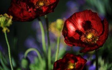 цветы, макро, красные, маки
