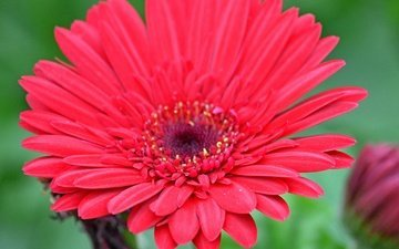 macro, flower, gerbera, red flower