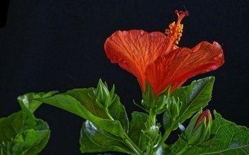 листья, макро, цветок, красный, черный фон, гибискус