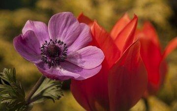цветы, макро, лепестки, тюльпан, анемона