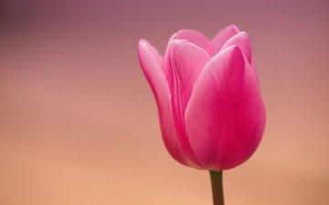 макро, цветок, лепестки, тюльпан