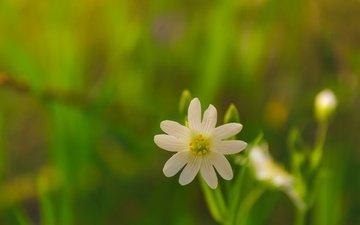 природа, макро, фон, цветок, лепестки, звездчатка