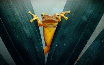 макро, листва, лягушка, жаба, золотая, земноводные