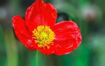 macro, flower, red, mac, spring, bokeh