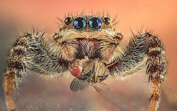 макро, насекомое, фон, паук, муха, добыча, глазки, волосатый, паук-скакунчик, джампер