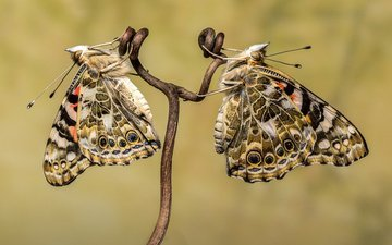 макро, бабочка, насекомые, бабочки, стебель, виноградная лоза, sophiaspurgin, бабочки. бабочка