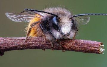 ветка, макро, насекомое, усы, крылья, пчела, мегахилида
