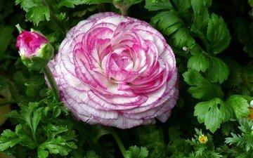 макро, цветок, ранункулюс, лютик, пестрый