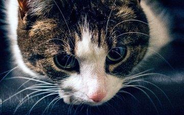 глаза, морда, кот, усы, кошка, взгляд, полосатый