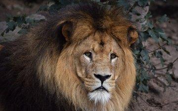 глаза, морда, взгляд, хищник, лев, грива