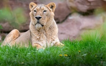 морда, трава, хищник, лев, львица