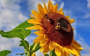 небо, насекомое, цветок, подсолнух, пчела, шмель