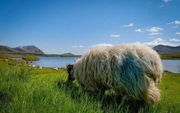 небо, трава, шерсть, луг, животное, овца