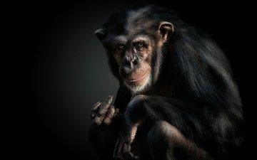 обезьяна, жест, шимпанзе