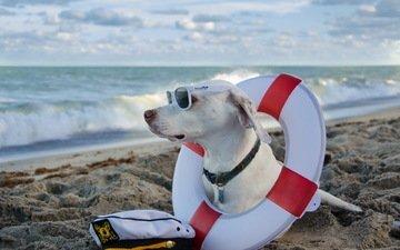 море, пляж, очки, собака, солнечные очки, дог, спасательный круг