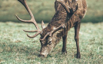трава, олень, животное, рога