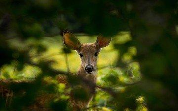 природа, дерево, листья, олень, ветки, животное, косуля