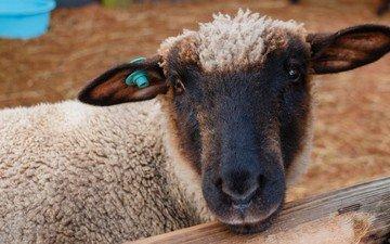 морда, шерсть, животное, уши, загон, овца