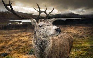 озеро, горы, природа, олень, рога, шотландия