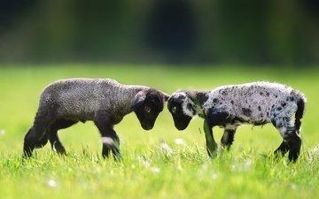 трава, пара, лужайка, баран, овца, барашки