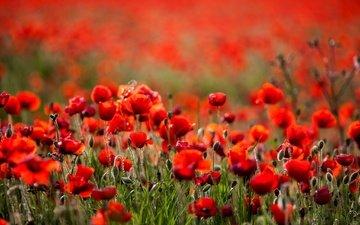 цветы, поле, лето, красные, маки, боке