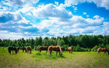 небо, трава, облака, деревья, поле, лошади, кони