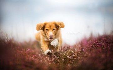 eyes, flowers, muzzle, field, look, dog, running