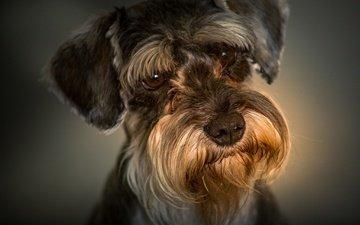 портрет, взгляд, собака, мордашка, цвергшнауцер