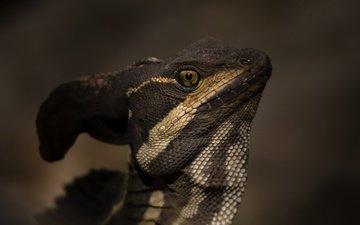 природа, ящерица, василиск, basiliscus basiliscus, jezus christ lizard