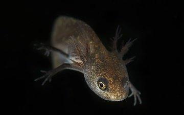 eyes, nature, background, look, black background, amphibians, triton