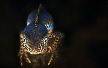 nature, background, black background, amphibians, triton