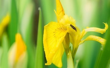природа, желтый, макро, цветок, лепестки, ирис