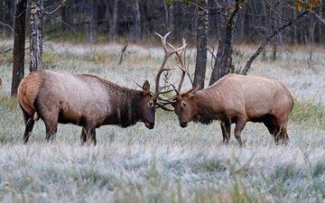 природа, олень, рога, олени, турнир