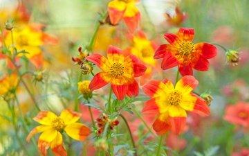цветы, природа, поле, лепестки, луг, георгины, gesiel souza