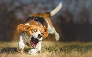 трава, природа, собака, прыжок, игра, мячик, боке, бигль