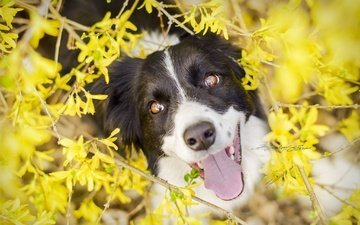 eyes, flowers, nature, look, dog, each, language, the border collie