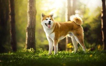 nature, dog, red, language, ame, shiba inu, akita, dackelpuppy