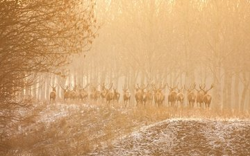 trees, nature, forest, animals, fog, deer