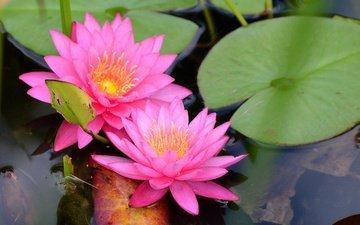 цветы, вода, пруд, кувшинка, нимфея, водяная лилия