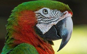 птица, клюв, перья, попугай, ара, малый солдатский ара