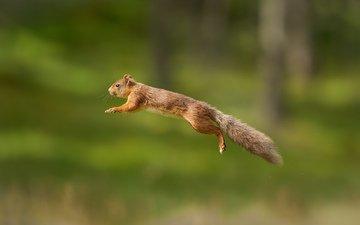 пушистый, прыжок, белка, хвост, белочка, грызун